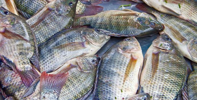 Des poissons nourris aux excréments