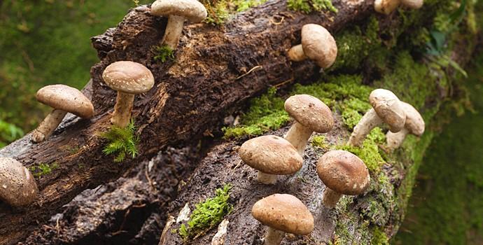 Ce champignon combat le cancer avec vous