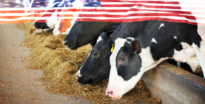 Ces vaches sont nourries de bonbons