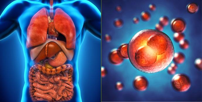 Les cellules de nos organes : un feu d'artifice de différences