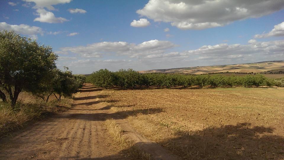 Fès (Maroc): Les figuiers