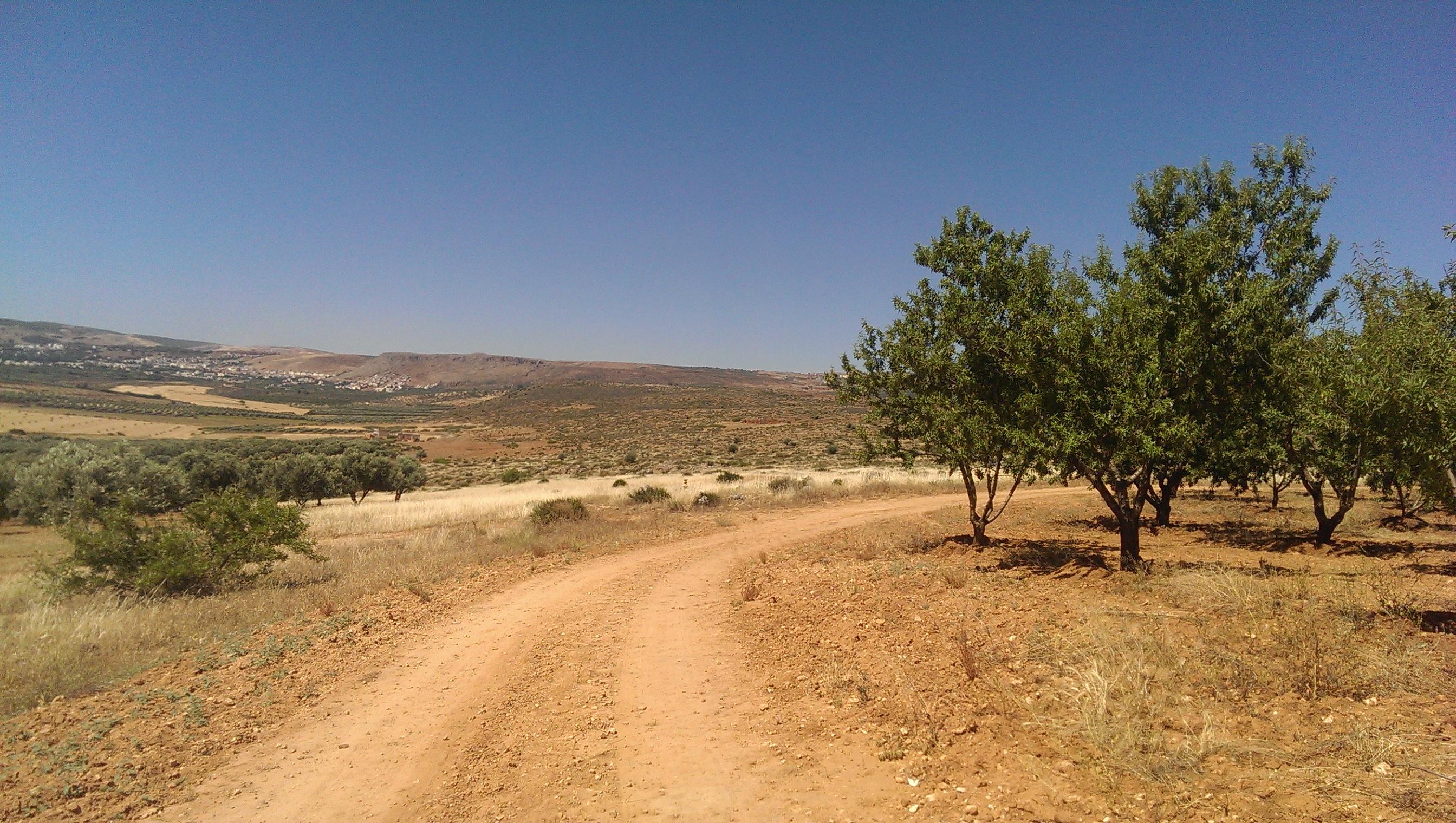 Fès (Maroc): Les oliviers